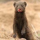 A Dwarf Mongoose with personality! by Anthony Goldman