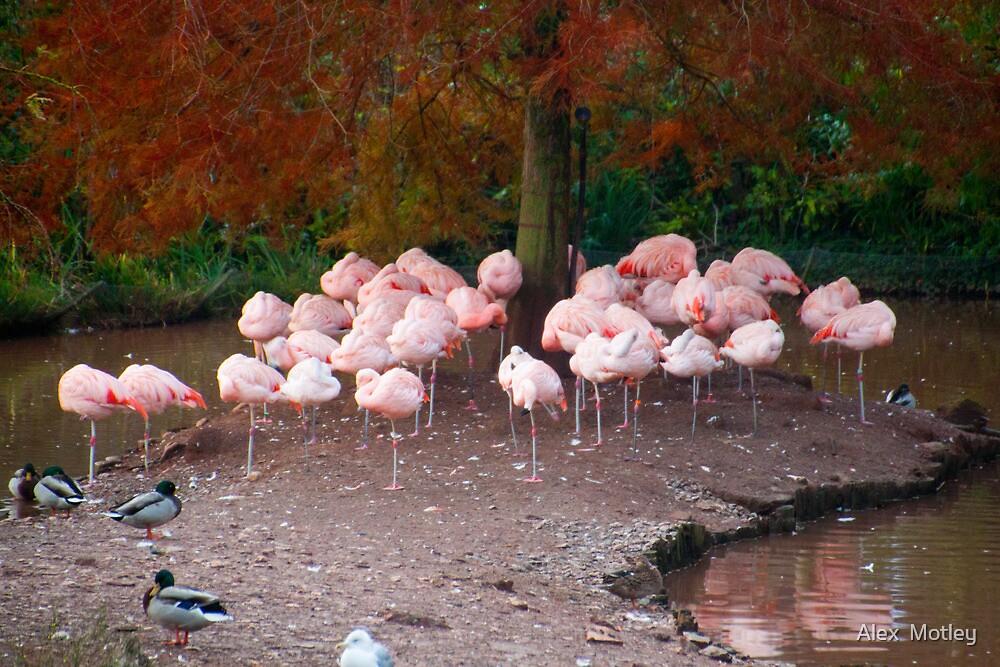 Flamingo sunset by Alex  Motley
