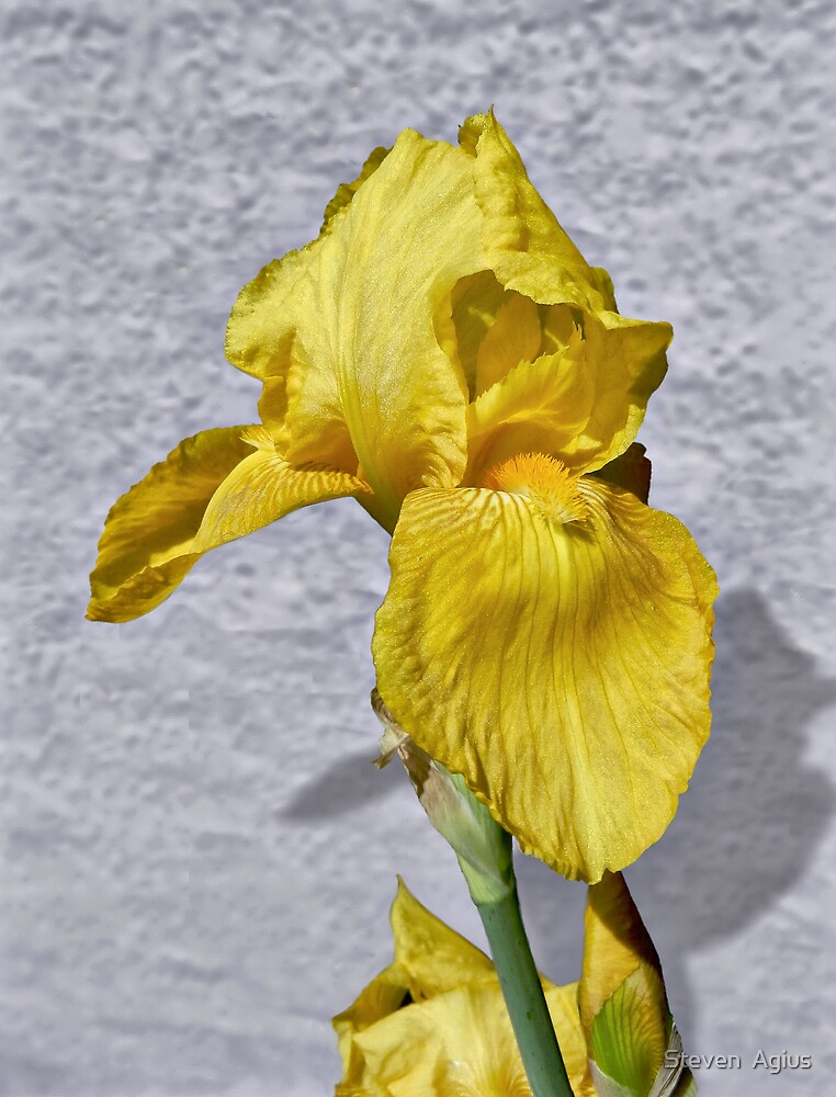Iris in Yellow by Steven  Agius