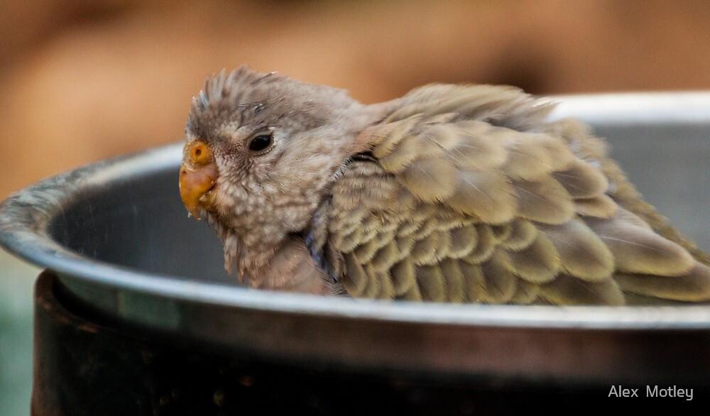 Bird Bath by Alex  Motley