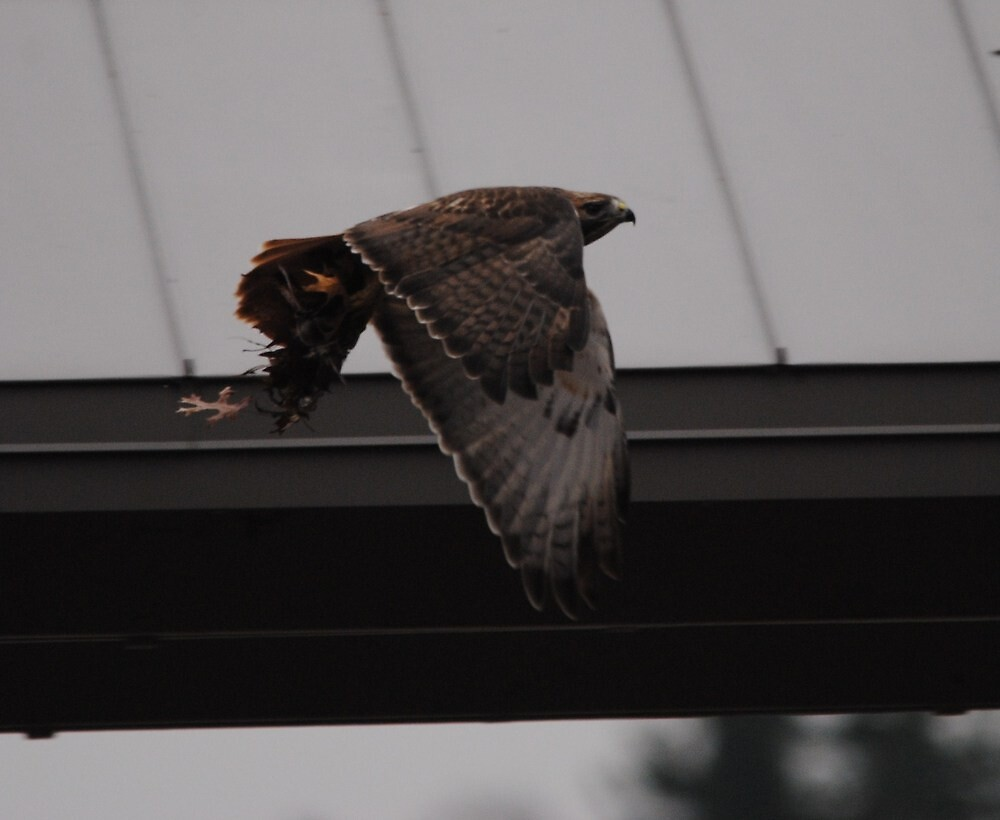 Redtail Hawk With Lunch in Talons!!! by Thomas Mckibben
