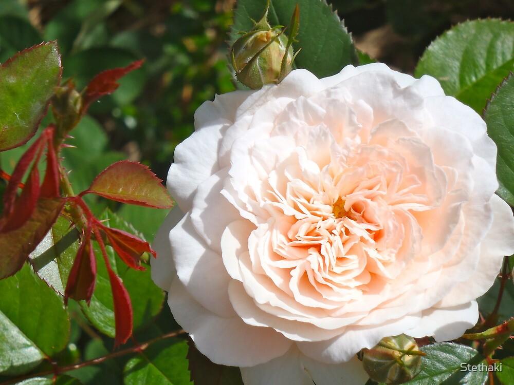 Merribee Rose by Stethaki