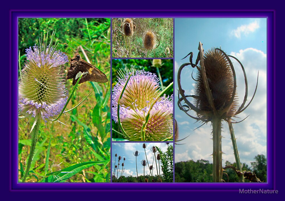 Teasel Thistle - Dipsacus fullonum by MotherNature