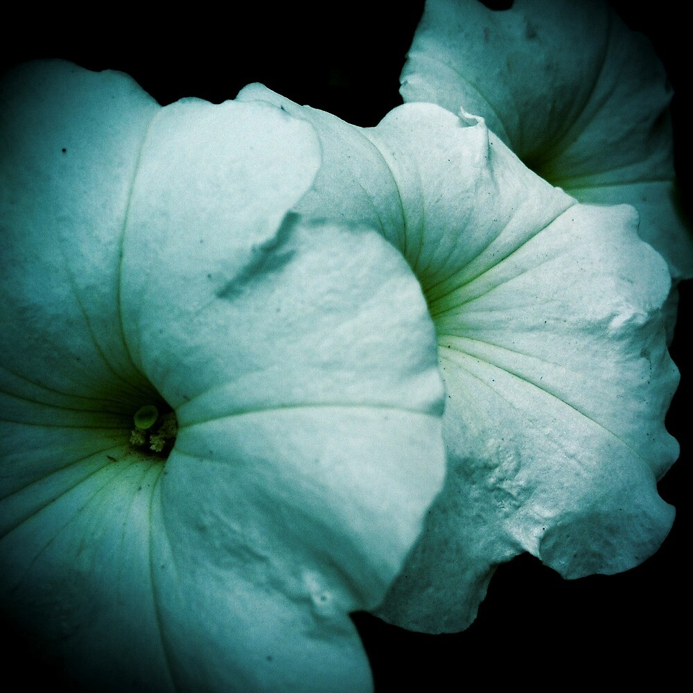 White Petunia by Jock Anderson