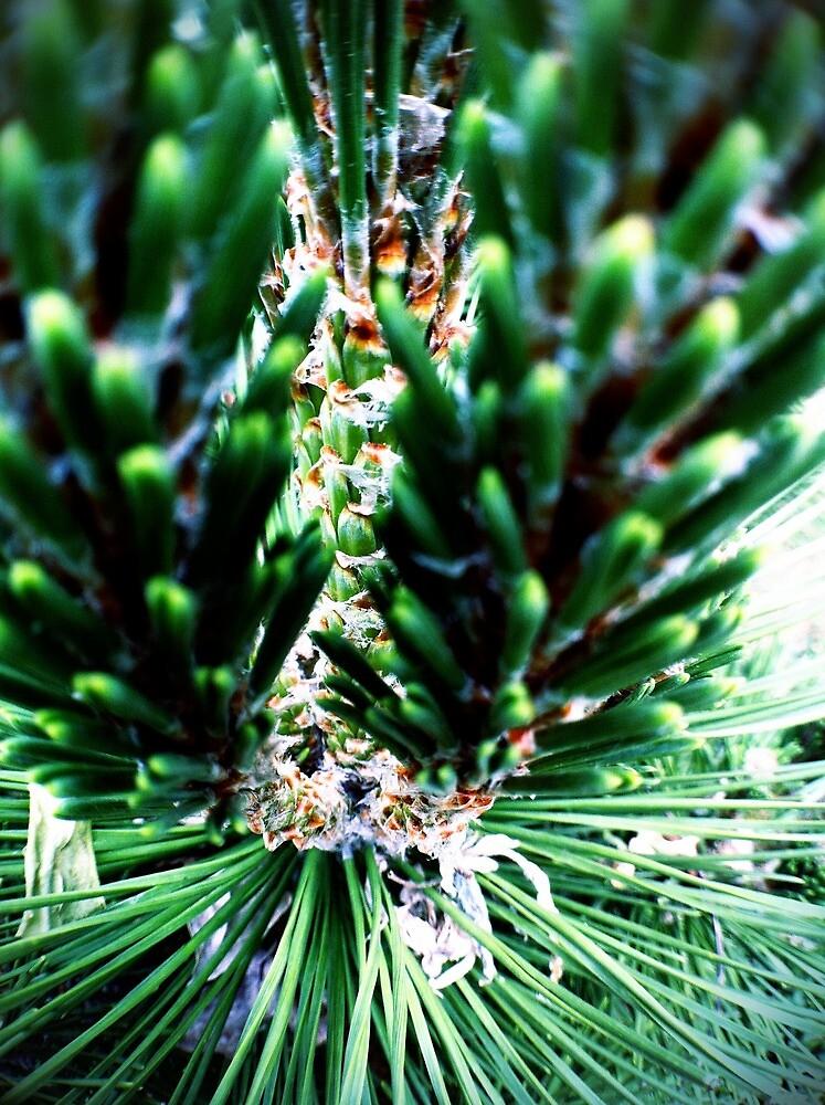 Pine Macro #3 by Jock Anderson