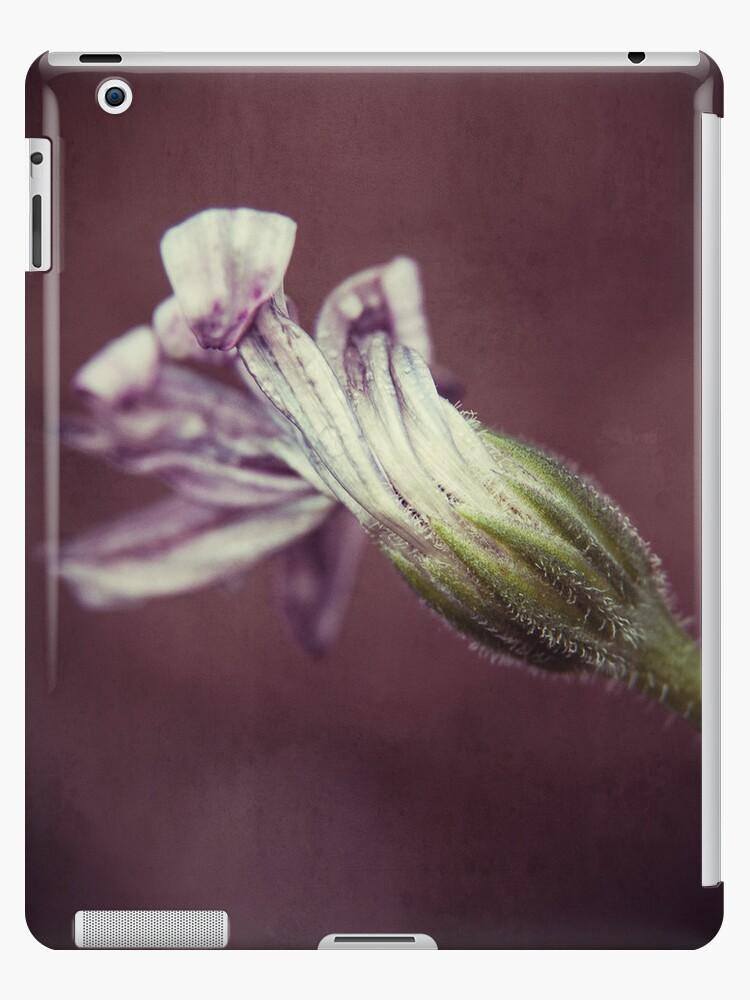 Osteospermum Macro by hinomaru