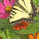 Yellow Tiger Swallowtail Butterfly Among Colorful Flowers by pjwuebker