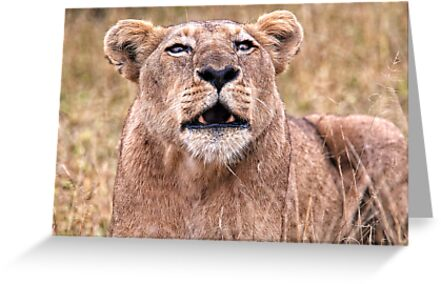 Cross Eyed Lioness by Michael  Moss