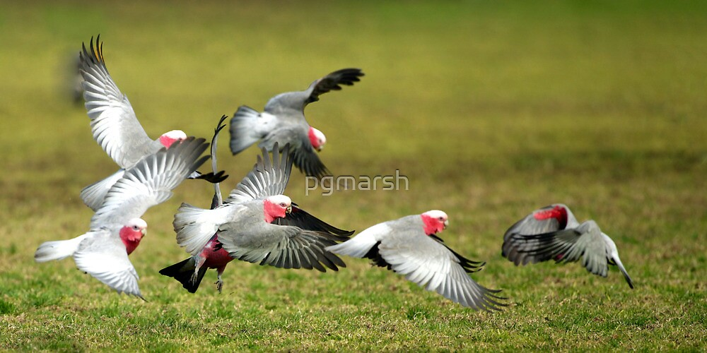 Gala's take flight by pgmarsh