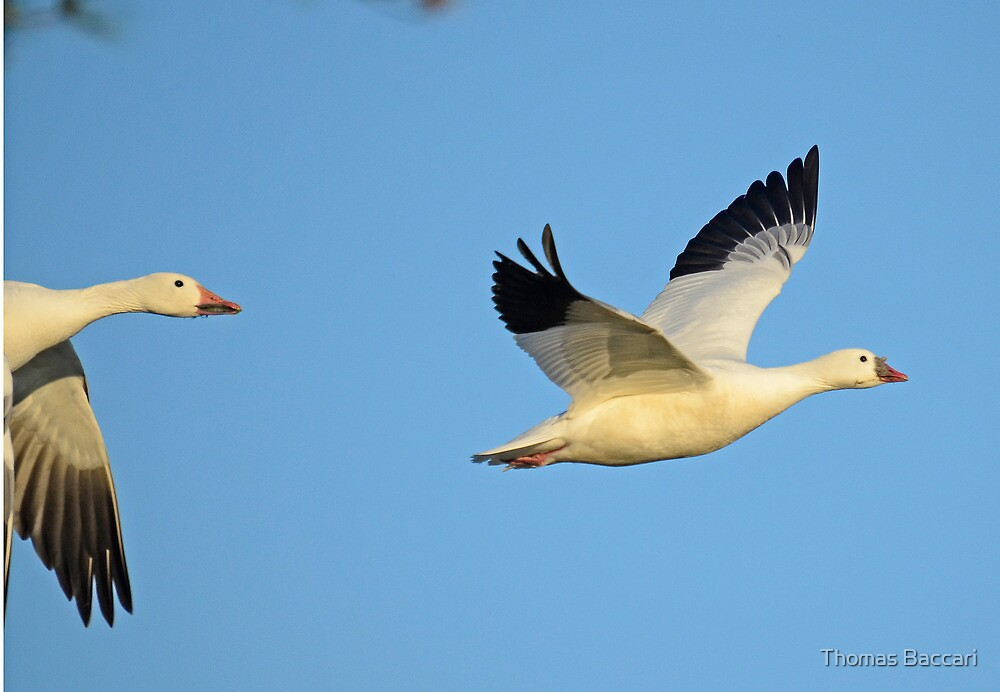 SNOW GEESE – *Best Viewed Larger* by TJ Baccari Photography