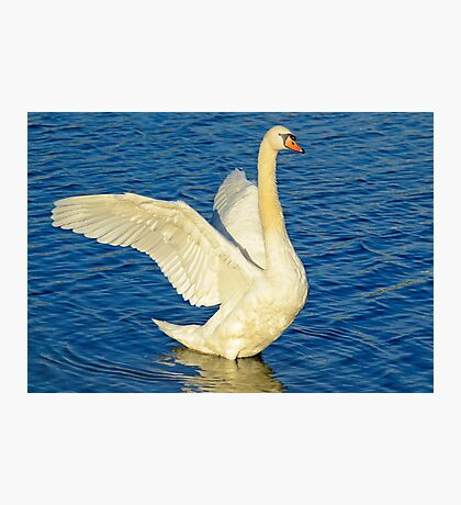 SWAN STRETCH – *Best Viewed Larger* Photographic Print