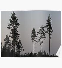 Pine Tree Still Life Poster