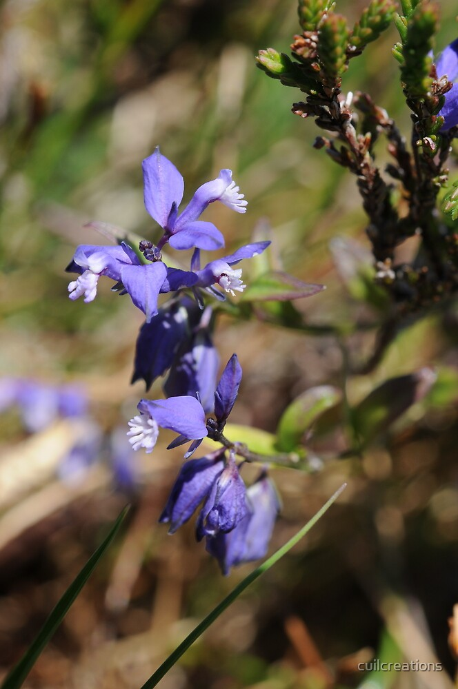 Heath Milkwort by cuilcreations