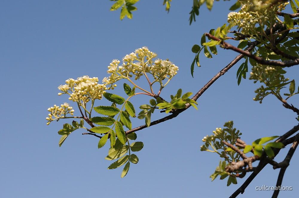 Rowan Flowering by cuilcreations
