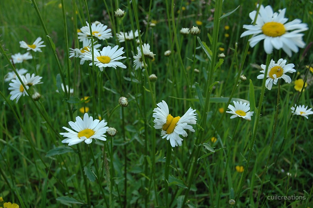 Ox-eye Daisies by cuilcreations