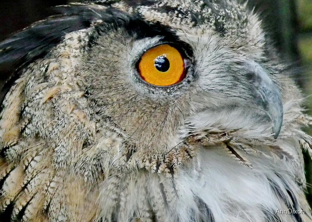 Eagled Eye Owl by AnnDixon