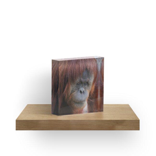 Sumatran Orangutan portrait ~ square frame by roger smith