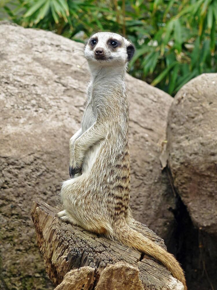 Meerkat Lookout by DarthIndy