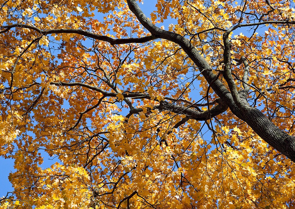 Maple tree in autumn by Cebas