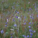Devil's-bit Scabious by cuilcreations