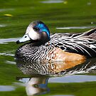 chiloe wigeon by Steve Shand