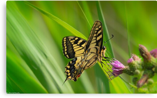 swallowtail (norfolk uk) 2 by Steve Shand