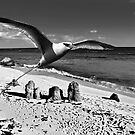 BERMUDA LONGTAIL BIRD, WARWICK BEACH.. by buddybetsy