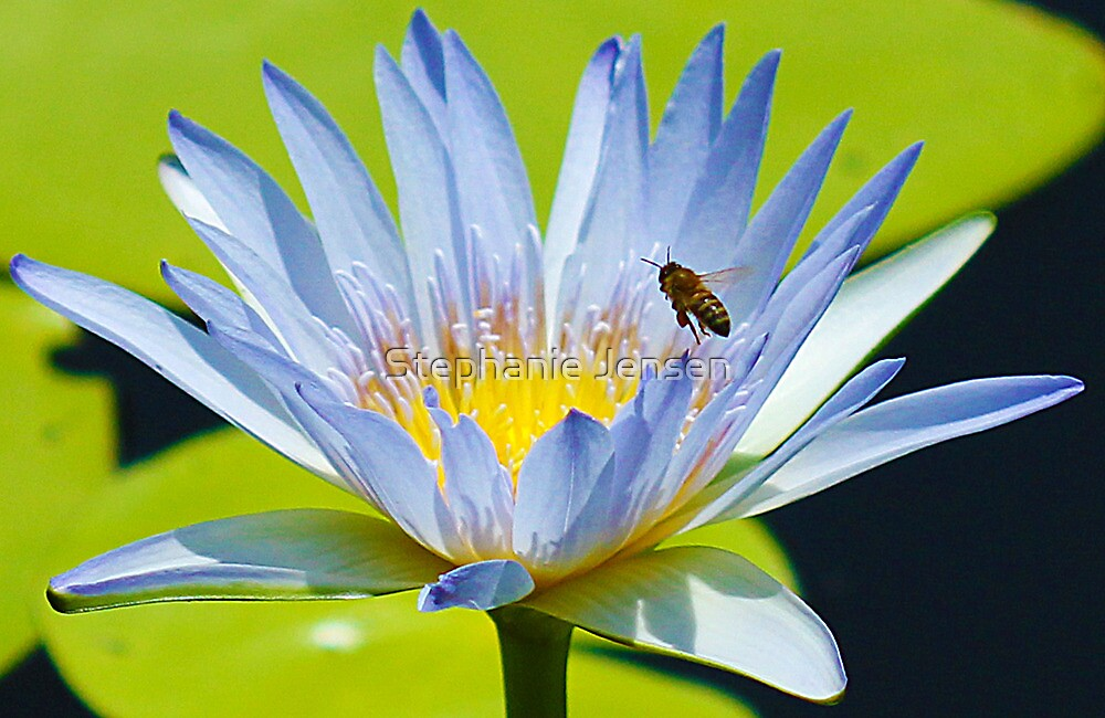 Bee on Lotus by Stephanie Jensen