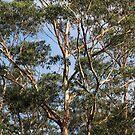 Aussie Bush Sticks: Australian Gum Trees by aussiebushstick