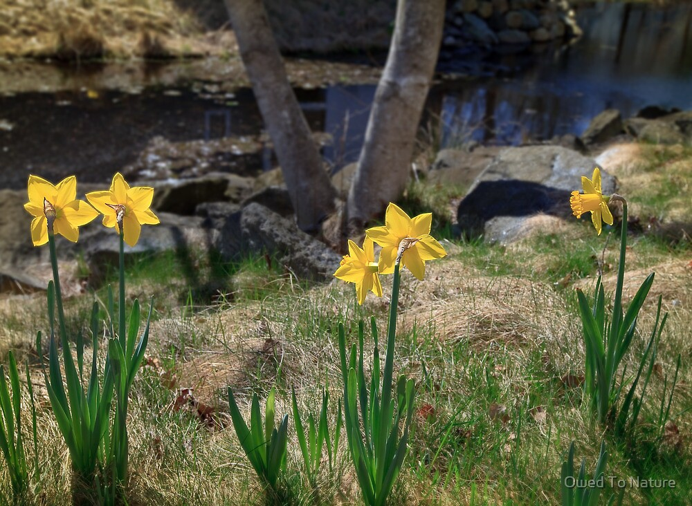 Daffodil banks by Owed To Nature