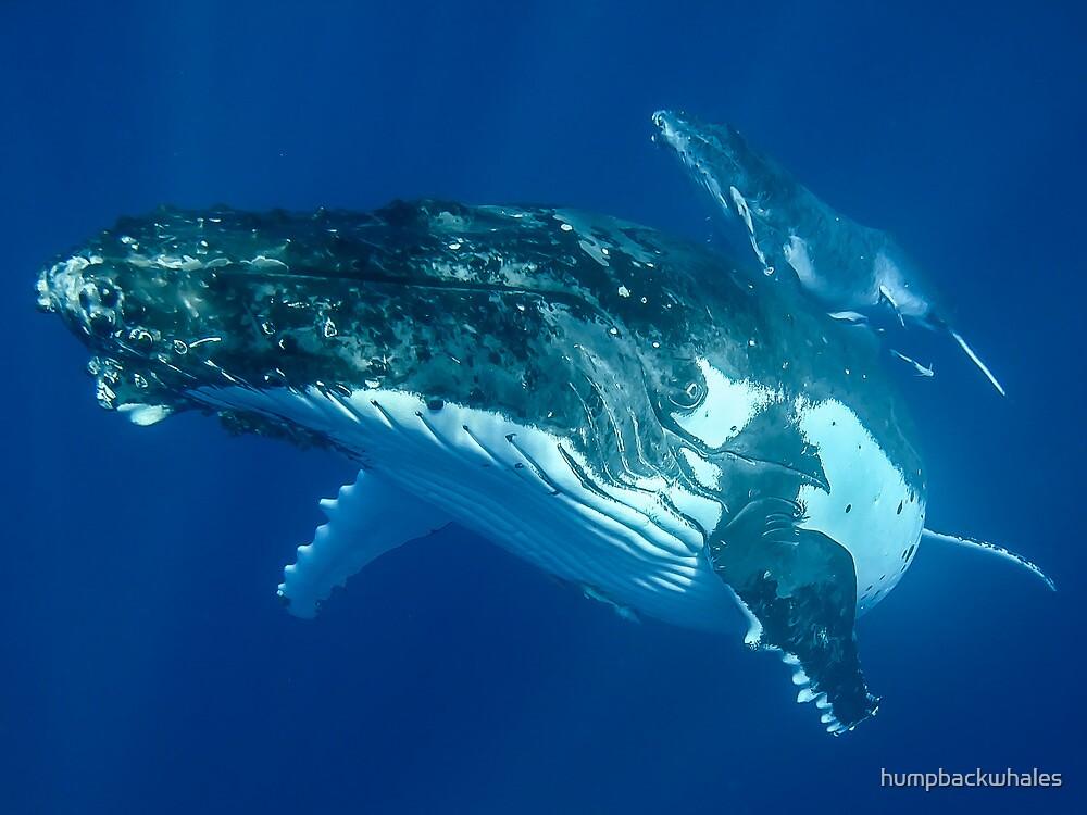 Mum and calf by humpbackwhales
