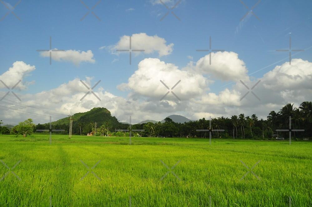 Paddy Field in Sri Lanka by hazarip