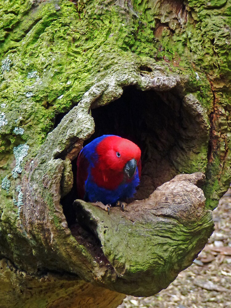 Eclectus Parrot (Female) by DarthIndy