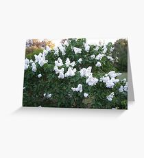 The Lemon Lilac bush, Syringa (oleaceae) back garden. Greeting Card