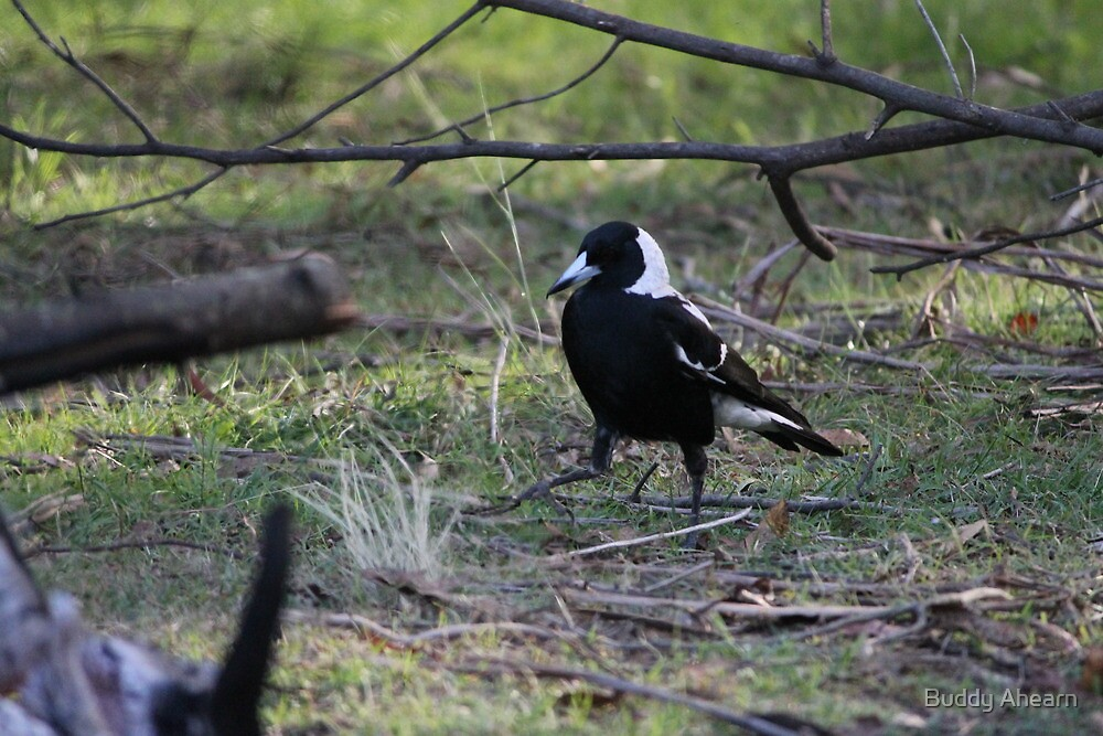 Dancing Magpie by Buddy Ahearn