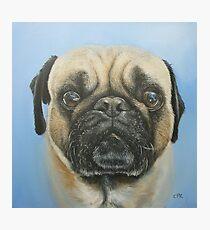 Pug on blue background Photographic Print