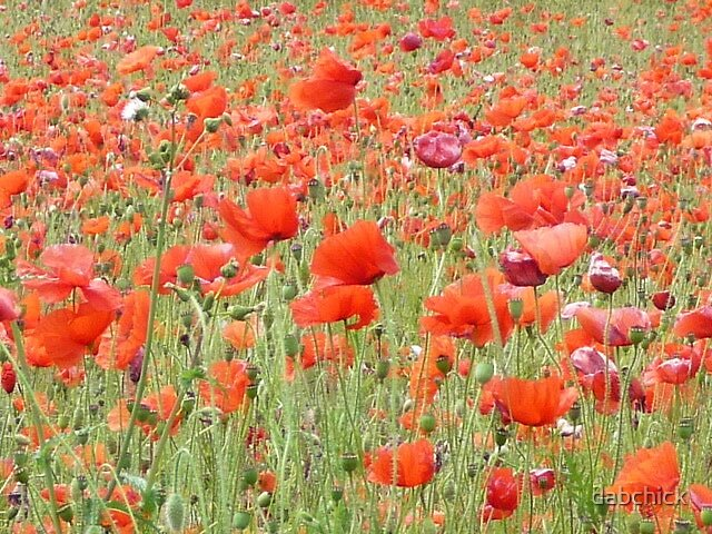 Poppies by dabchick
