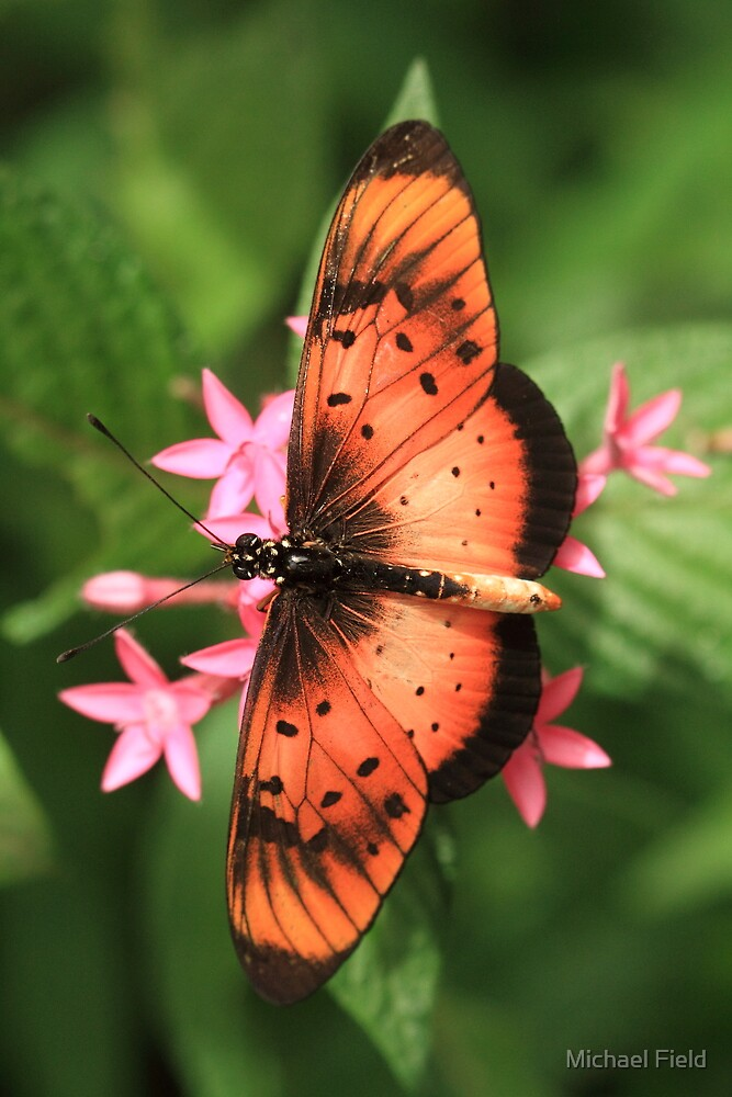 Natal Acraea Butterfly (St Lucia), South Africa by Michael Field