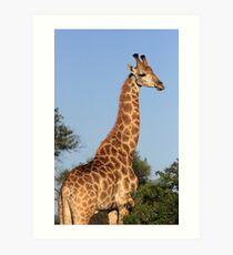 Giraffe in early morning light, Mkuze Reserve, South Africa 2012 Art Print