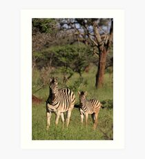 Plains Zebra and foal, early morning light (Mkuze Reserve), South Africa 2012 Art Print