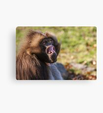 Male Gelada trying to intimidate me Canvas Print