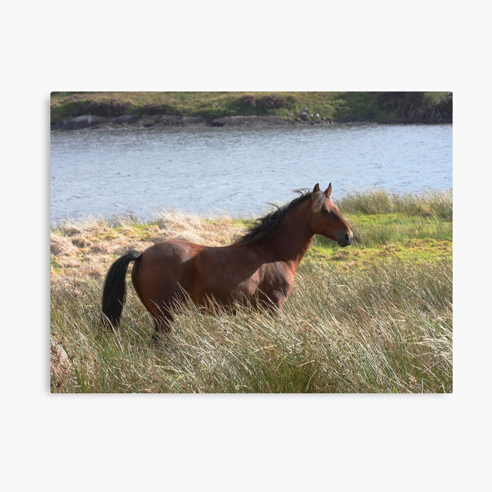 Connemara Pony in the countryside Canvas Print