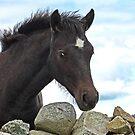 Connemara Pony Foal looking over a stone wall by ConnemaraPony