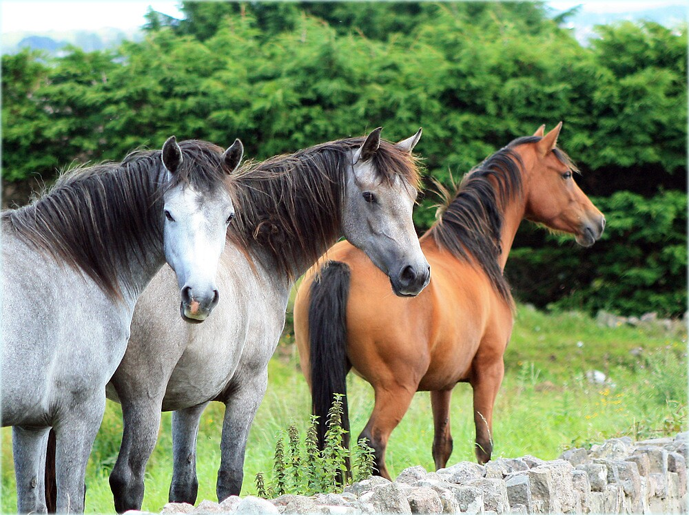 Connemara Ponies in the field by ConnemaraPony