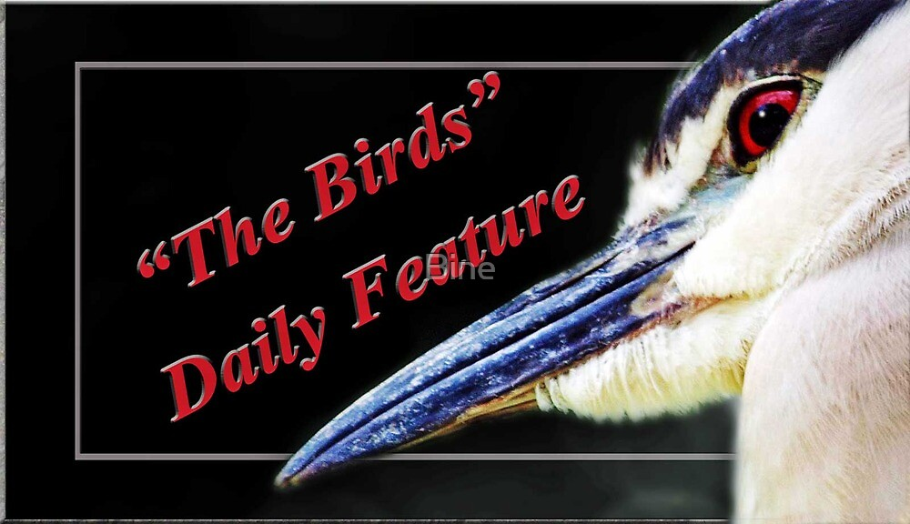 The Birds-Daily Feature by Bine