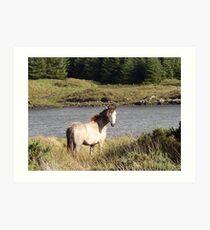 Connemara Pony in the Irish Countryside 2 Art Print