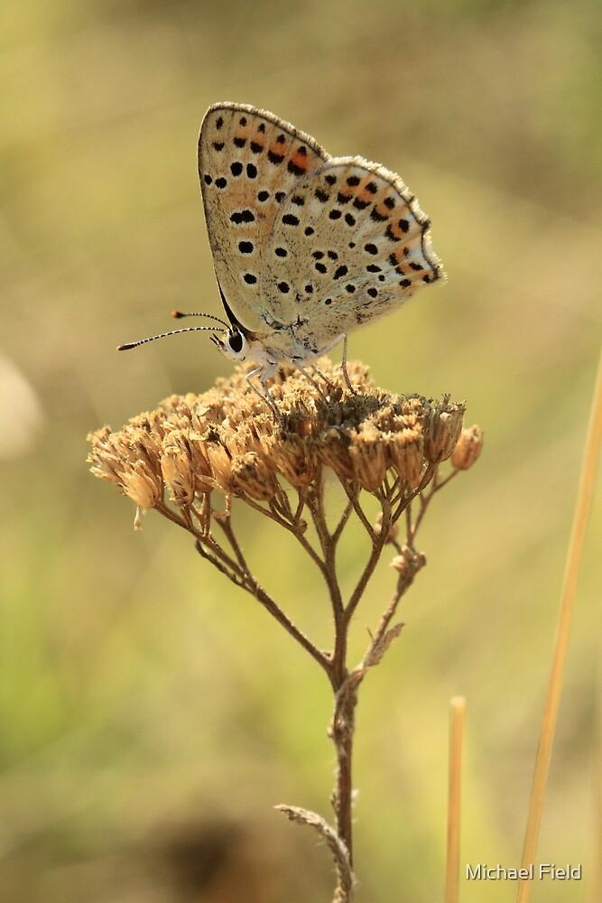 Sooty Copper Butterfly on Flowerhead (Velingrad) South-West Bulgaria 2012 by Michael Field