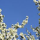Blossom against blue sky. by LydiaWoods