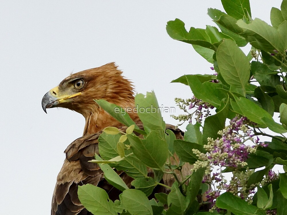 Tawny Eagle with spring blossoms - Kruger National Park by eyedocbrian