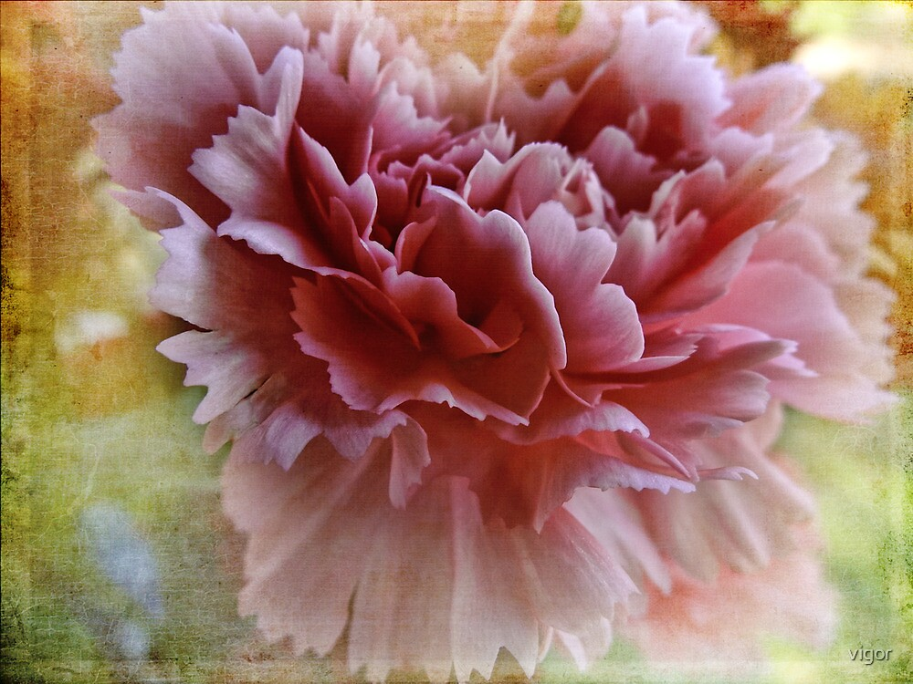 Carnation of Pink by vigor